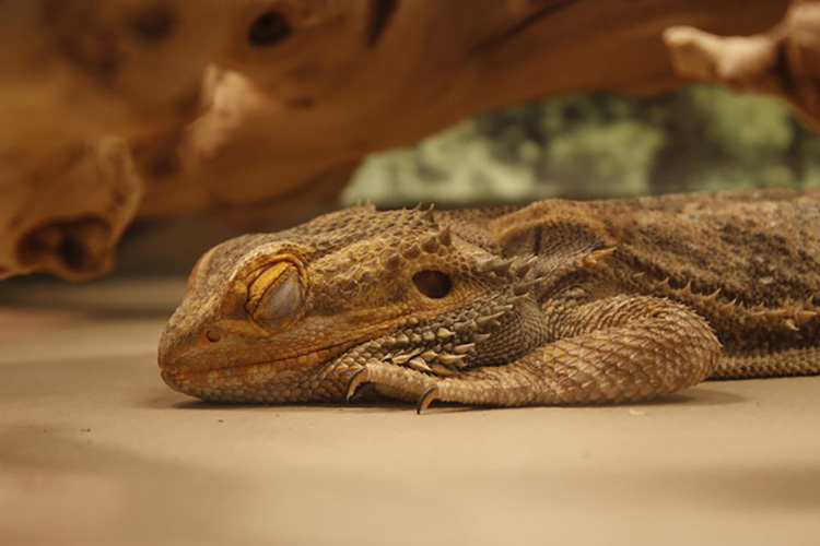 Bearded Dragon Bed