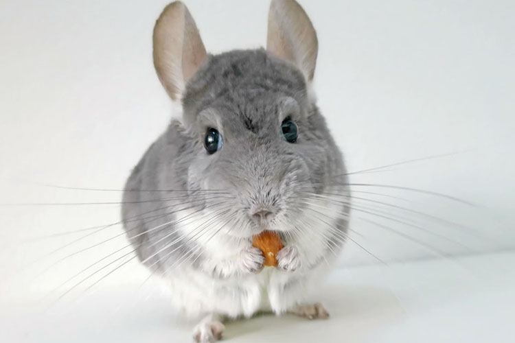 Chinchilla foods