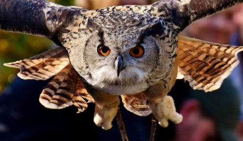 Owls are carnivorous