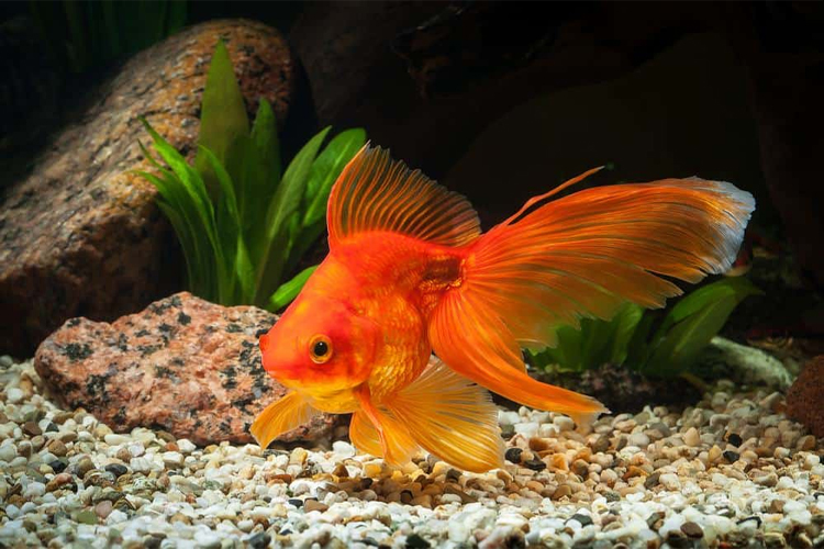 Types of Aquarium Fish