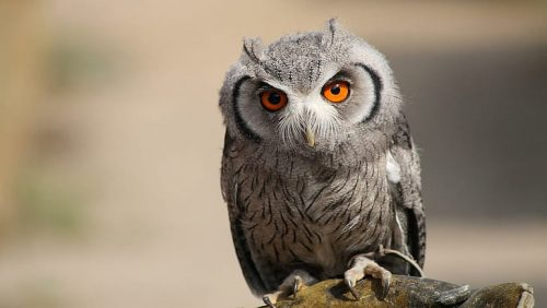 Owls are nocturnal
