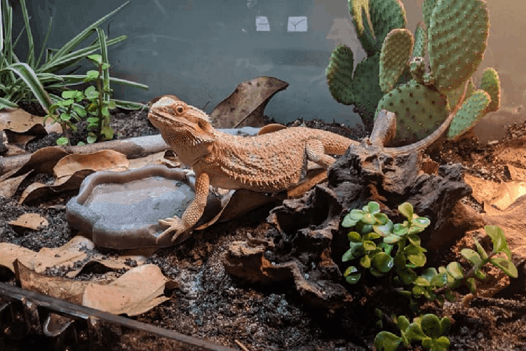 Bearded dragons accessories
