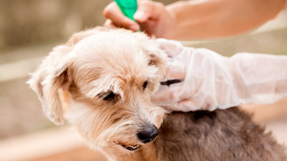 Dog Lice Treatment
