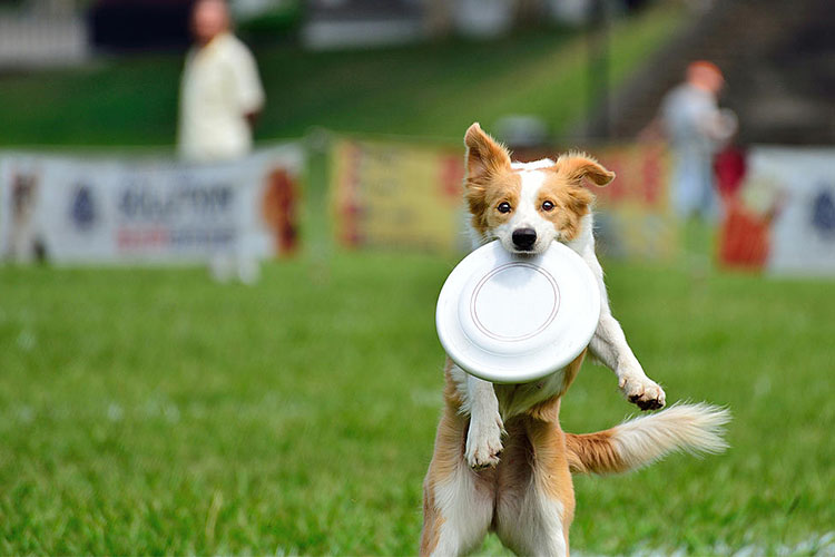 Frisbee For Dog