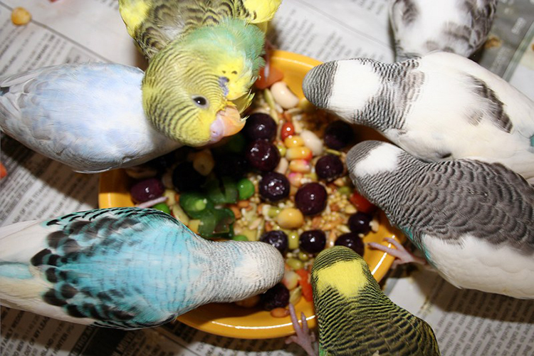 Parakeet Treats