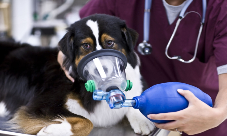 Oxygen Tent For Dogs