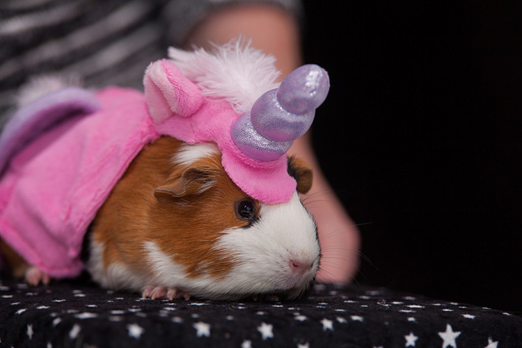 Top 10 Best Guinea Pig Costumes In 2021