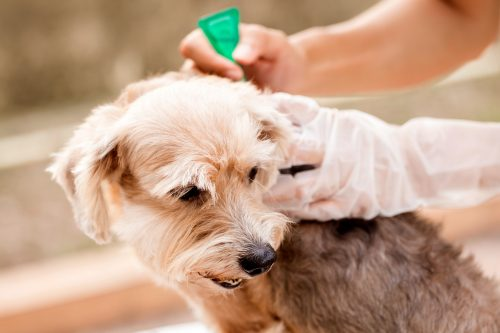 Skipping Flee Treatment | Things You Should Not Do With Your Dog