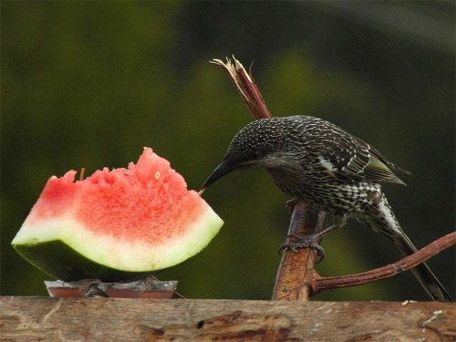 Melons | Type Of Vitamin Foods For Pet Birds