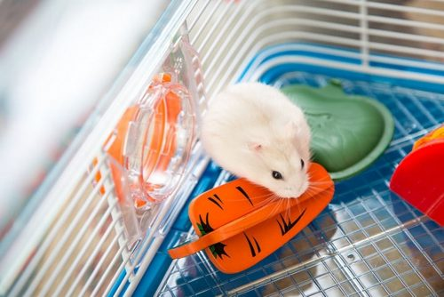 Provide Chewing Treats for Your Hamster's Teeth Care | A Simple Guide To Take Care Of A Hamster