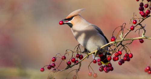 Berries | Type Of Vitamin Foods For Pet Birds