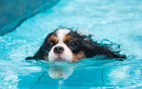 Get the Dog Comfortable to the Water | How To Teach Your Dog How To Swim