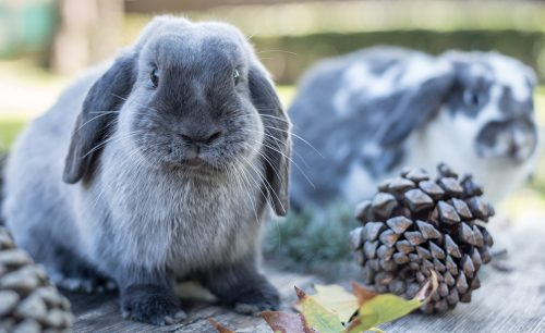 Pine Cone Homemade Chew Toy | Homemade Toy For Rabbits