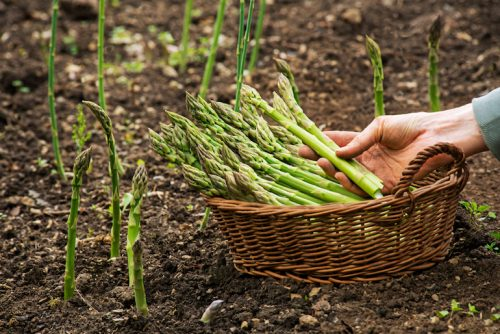 Asparagus | What Vegetables Are Safe To Feed Your Pet Bird