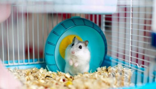 Pick a Suitable Cage for the Hamster | A Simple Guide To Take Care Of A Hamster