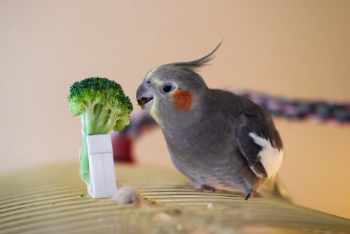 Broccoli | What Vegetables Are Safe To Feed Your Pet Bird