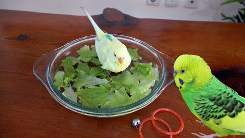 Romaine lettuce | What Vegetables Are Safe To Feed Your Pet Bird