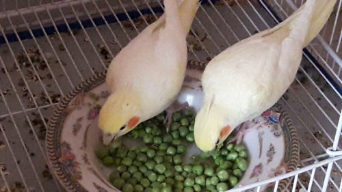 Snap Peas | What Vegetables Are Safe To Feed Your Pet Bird