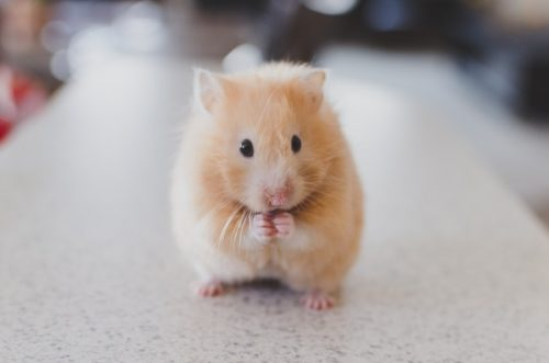 Syrian Hamster | Understanding Different Types Of Hamsters