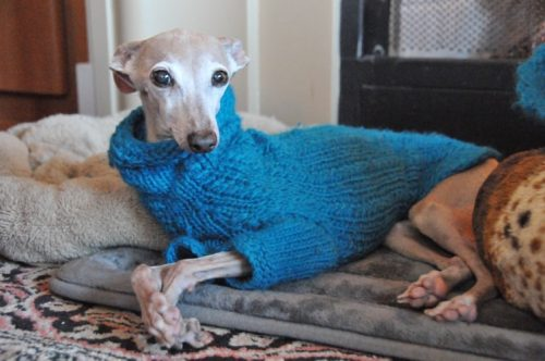 Reasons Why You Should Buy A Coat for Your Dog| Reasons Why Your Dog Should Wear Clothes