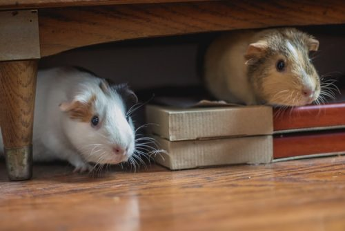 Better to Keep the Males and Females Separate | Facts You Should Know Before Getting a Pet Hamster