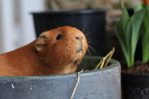 Hamsters Have a Short Lifespan | Facts You Should Know Before Getting a Pet Hamster