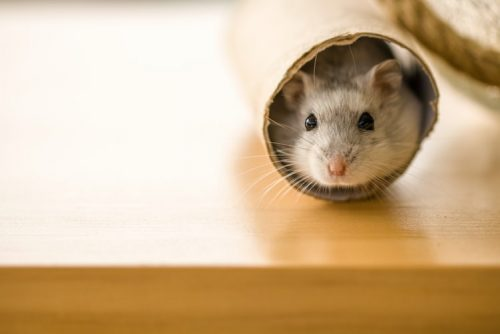 Different Breeds Have Different Characteristics | Facts You Should Know Before Getting a Pet Hamster