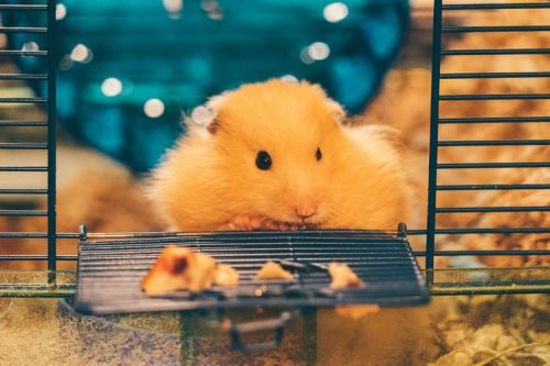 Hamster Need to Kept in Hamster Safe Home | | Facts You Should Know Before Getting a Pet Hamster