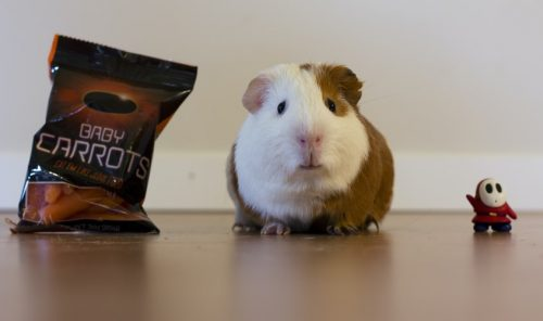 Hamsters are Anxious | Facts You Should Know Before Getting a Pet Hamster