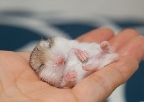 Hamster is Nocturnal | Facts You Should Know Before Getting a Pet Hamster