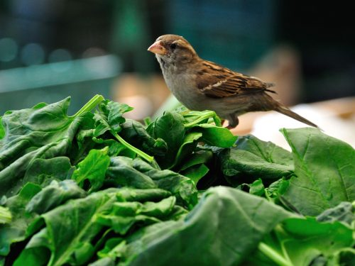 Spinach | What Vegetables Are Safe To Feed Your Pet Bird