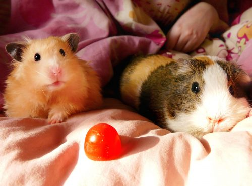 Time and Attention Required for a Guinea Pig and a Hamster | Should You Get A Hamster or A Guinea Pig ?