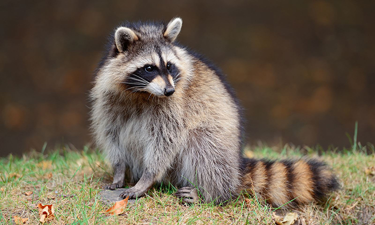 6 Facts About Raccoons