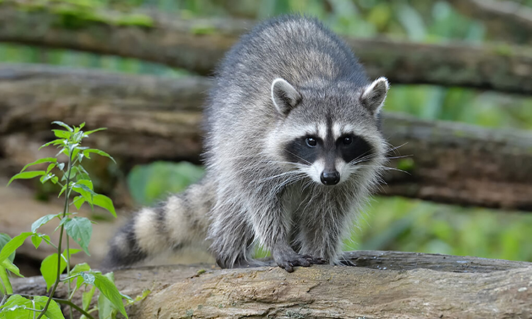 Should We Have A Raccoon As A Pet ?