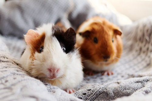 How Noisy Are They | Should You Get A Hamster or A Guinea Pig ?