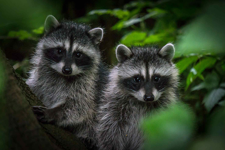 How To Take Care Of Raccoons