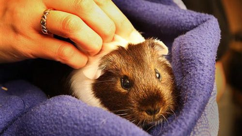 Are You Allergic | Should You Get A Hamster or A Guinea Pig ?