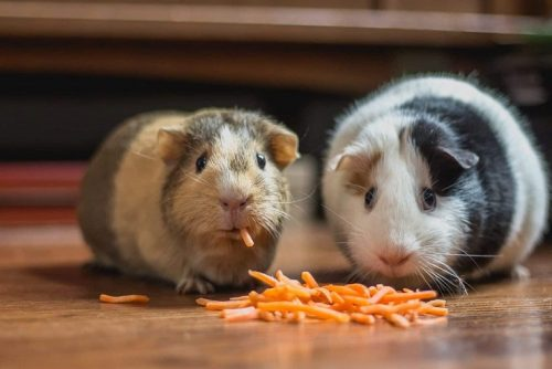 Benefits of Owning a Hamster & a Guinea pig | Should You Get A Hamster or A Guinea Pig ?
