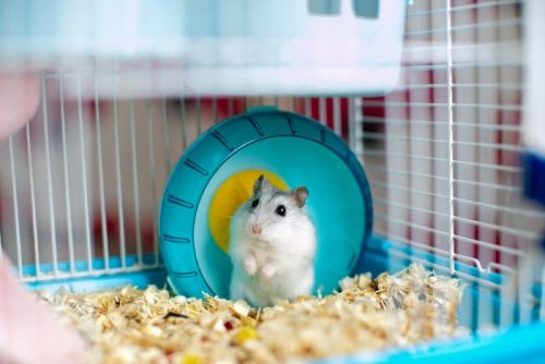 How Much Space Does Each of These House Pets Need | Should You Get A Hamster or A Guinea Pig ?