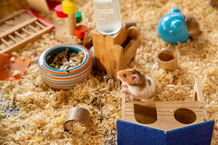 Should You Get A Hamster or A Guinea Pig ?